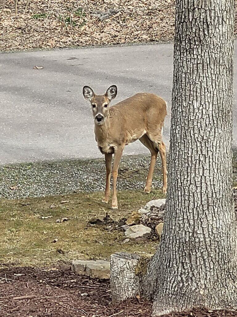 deer in spring dee dave 3-23-21