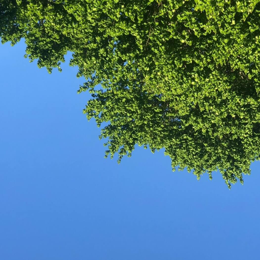 Looking up into blue sky and green tree leaves this morning in Deep Creek Lake, MD