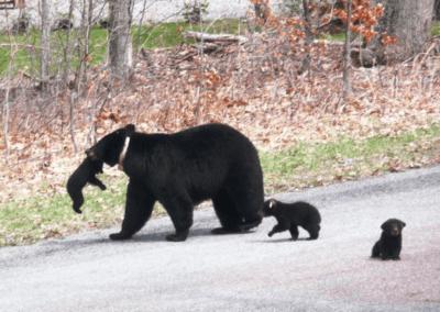 Bill Russell Bears at Deep Creek Lake, MD