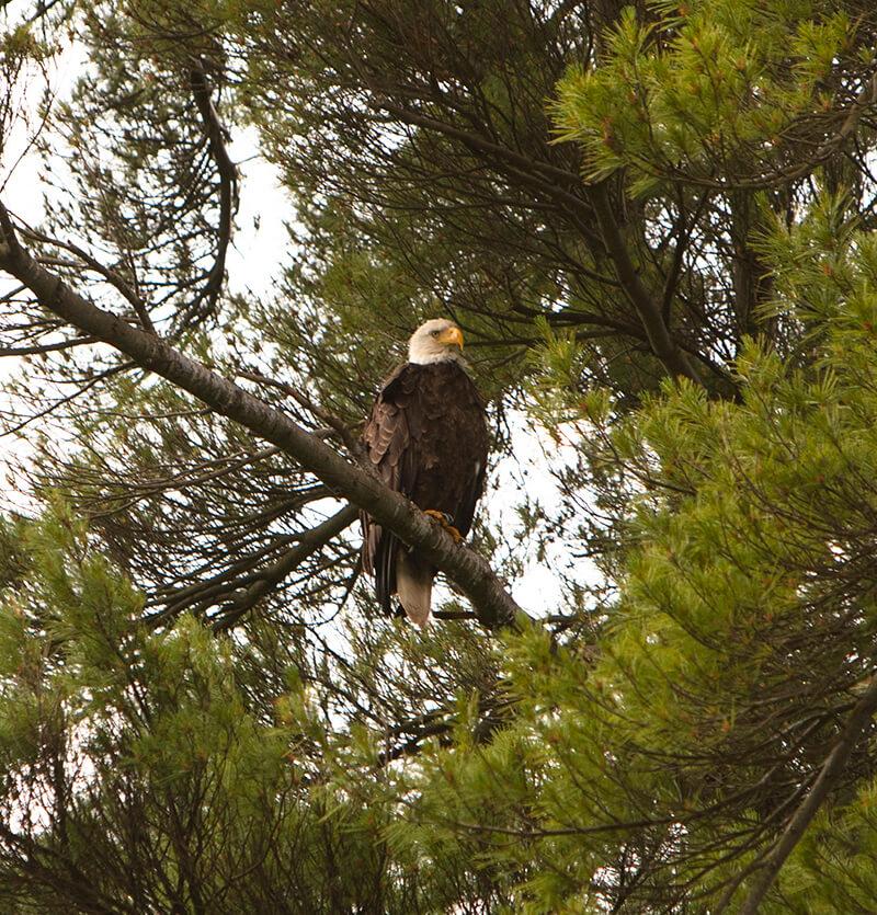 DCL Bald Eagle L Murphy