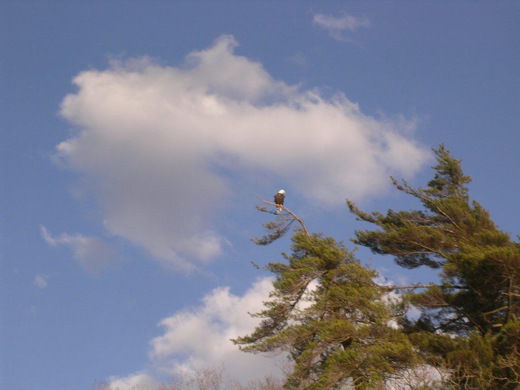 Bald Eagle Eagle at Deep Creek Lake, MD from Vince Zello