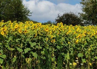 Fran Martin Sunflowers at Deep Creek Lake, MD