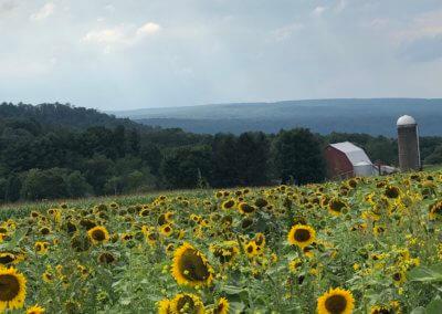 Gail Burkett Sunflowers