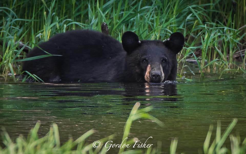 GordonFisher-Bear-at-DeepCreekLake,MD3