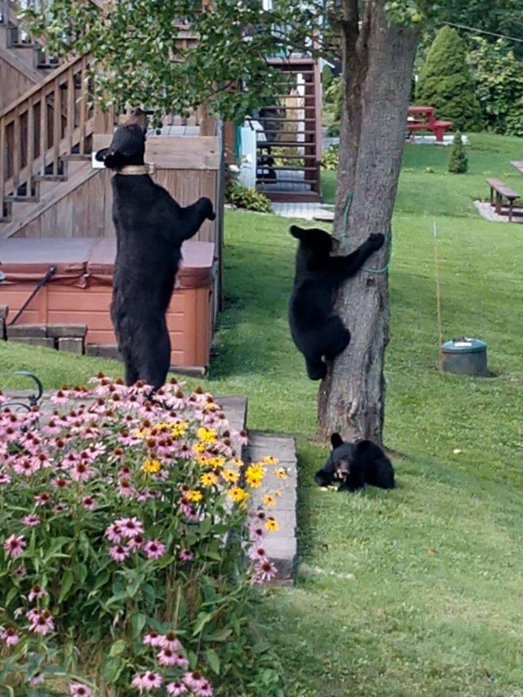 Black Bears Along Marsh Hill Road - Carol Williams