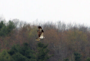 Lynn Murphy Osprey with Fish at Deep Creek Lake, MD