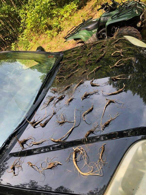 MD DNR Found Illegal Ginseng Harvesting