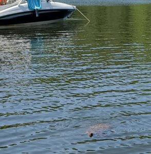 Melanie West Turtle at Deep Creek Lake, MD 2