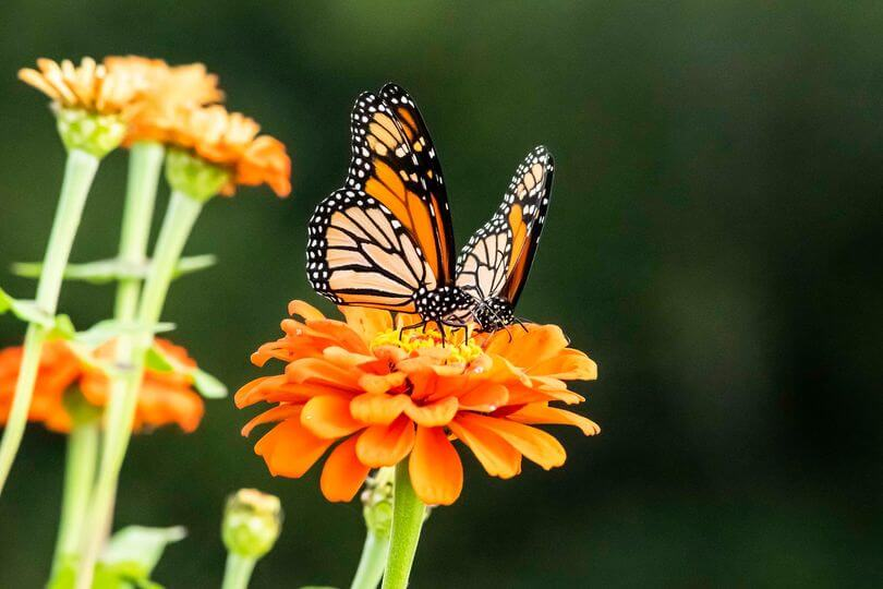 Monarchs and Milkweed Festival