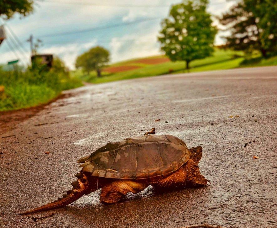 Russ Dijak Turtle Crossing at Deep Creek Lake, MD