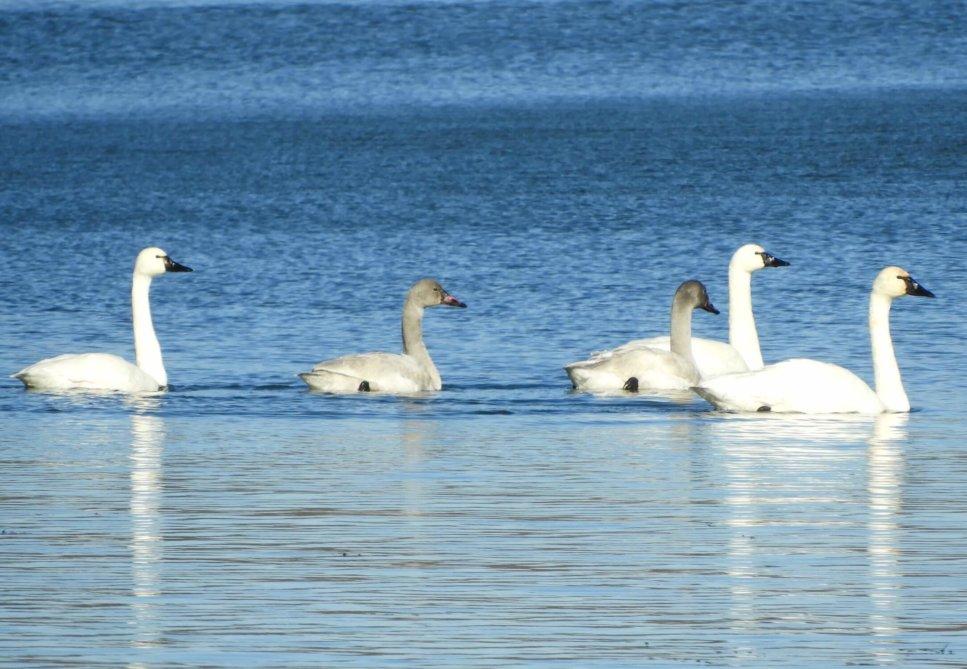 Vicki Schwinabart Tundra Swans
