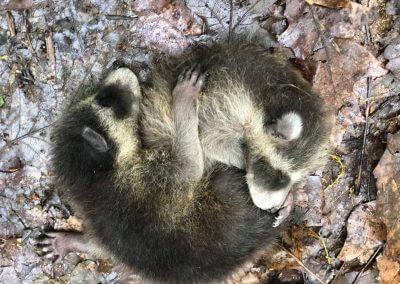 Raccoons at Deep Creek Lake State Park